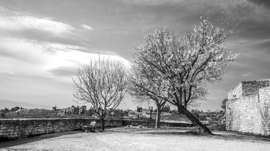 An old tree in the town of Gordes, France, leaning towards the light Leica Monochrom, 24mm, yellow filter